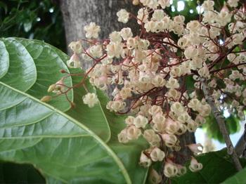 20090516 15ピンポンの木.JPG