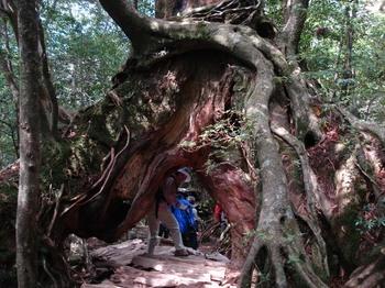 20090518 29くぐり杉2s.JPG