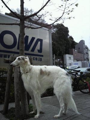 20100328 六本木ボルゾイ犬1.JPG