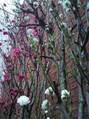 20100328 麻布十番 桜.JPG