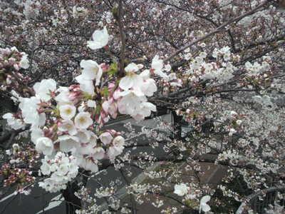 20100328 アークヒルズ桜まつり5.JPG