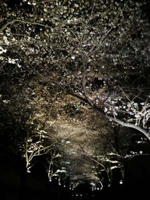 20100329 アークヒルズ夜桜1.jpg