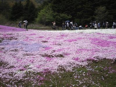 20100517 4富士芝桜まつり04s.JPG