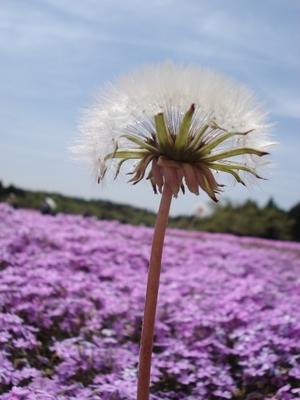 20100517 4富士芝桜まつり14.JPG