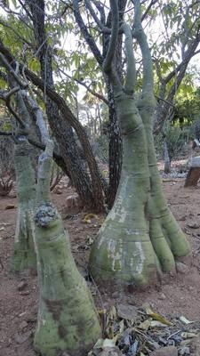 20100819 6アンタナナリヴ1ツィムバザザ動植物園ゾウ足の木.JPG