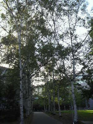 20100915 北海道大学3白樺並木.JPG