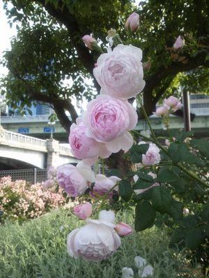20120530 中之島バラ園8Sharifa Asma.JPG