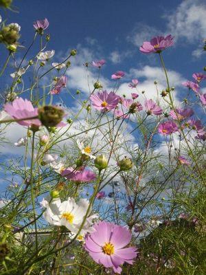 20121008 秋桜.JPG